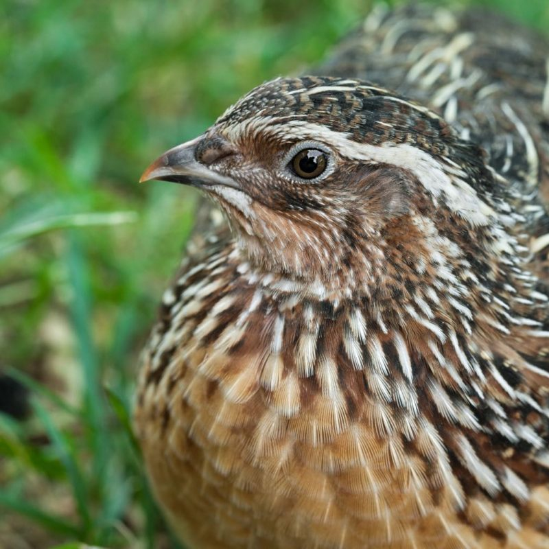 Beautiful male Common Quail (Coturnix coturnix) close up.
